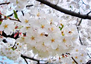 c1.hotels.washington.cherry.blossoms.spsec