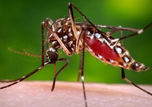 c1.mosquito.caribbean.spsec